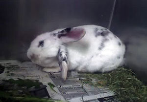 Rabbit peeing uncontrollably