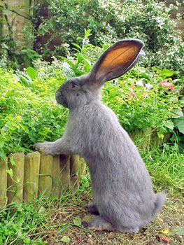 Caring For Giant Rabbits Rabbit Welfare Association Fund
