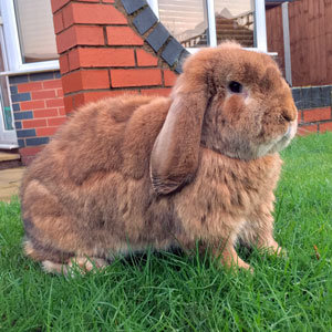 Moulting Rabbit Welfare Association Fund Rwaf