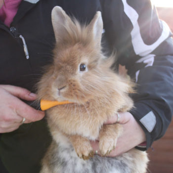 Rabbit being brushed