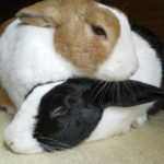 A rabbit leaning on another rabbit